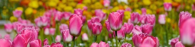 tulip-66393_640